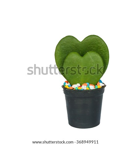 Green heart shaped cactus at pot can use for give valentine day isolated on a white - stock photo