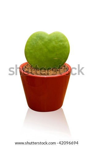 Green heart shaped cactus at pot isolated on a white - stock photo