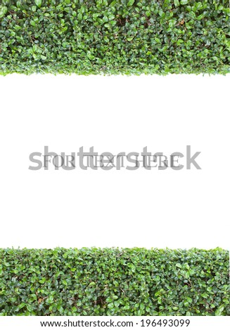 Green hedge, isolated on white background - stock photo