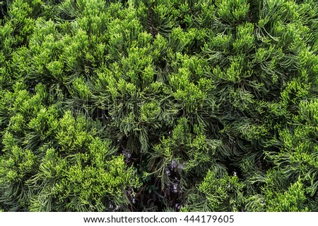 Green Hedge of Thuja Trees (cypress, juniper). Grass background.