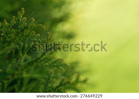 Green Hedge of Thuja Trees. Macro shot thuja branches in the sunlight. Copyspace for text. - stock photo