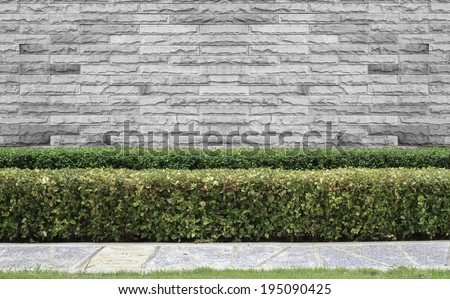 green hedge or Green leaves fence on White brick wall  background - stock photo