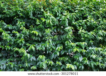 green hedge or Green Leaves Wall - stock photo