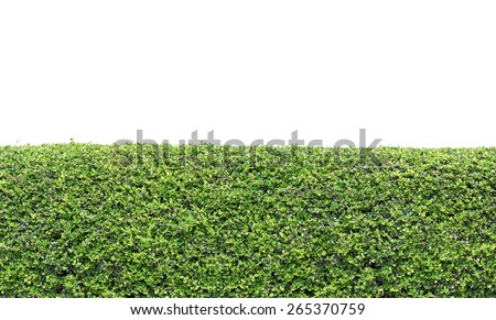 green hedge or Green Leaves Wall on isolated - stock photo