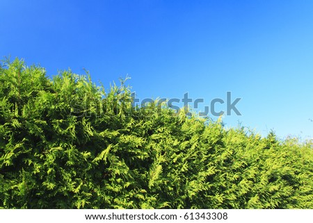 green hedge with clear blue sky in the background - stock photo