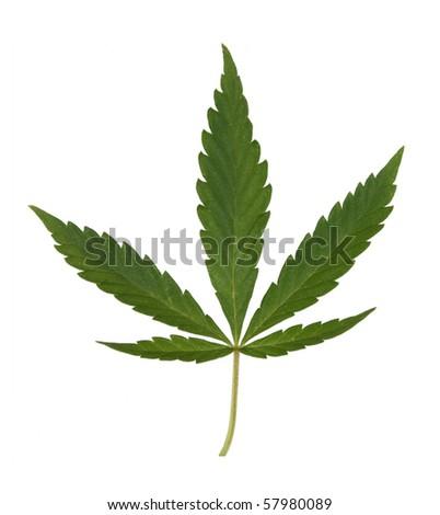 green hemp leaf isolated over white - stock photo