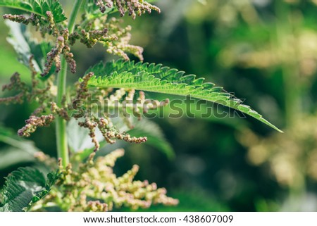 green hemp plant on a blurred background