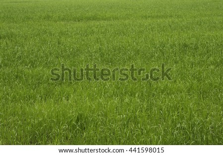 Green herbal background. Juicy grass on the field. Farmland. Agriculture. The young shoots of rye. The concept of the ecology of the planet. - stock photo