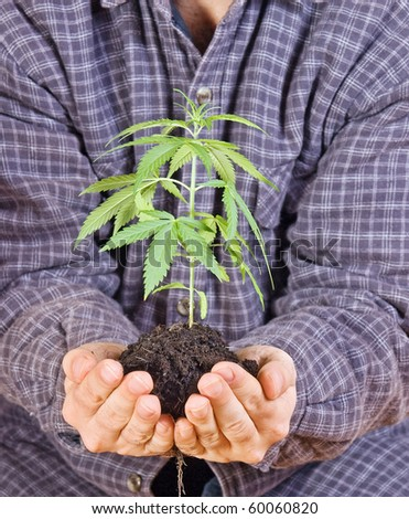 Green herbs in a open palm. Gardener is holding the green plant. Hands shows small herb with roots in soil. Careful cultivation of plants marijuana. Transplanting whole plant. - stock photo