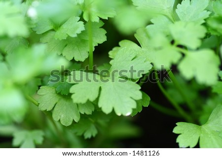 Green herbs. Shallow DOF. - stock photo