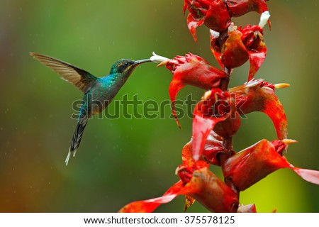 Green Hermit, Phaethornis guy, rare hummingbird from Costa Rica, green bird flying next to beautiful red flower with rain, action feeding scene in green tropical forest, animal in the nature habitat - stock photo