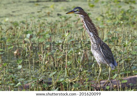 """Green heron (Butorides virescens) demonstrating defensive """"Forward"""" display against another heron entering the foraging territory. Brazos Bend State Park, Texas, USA. - stock photo"""