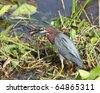 Green heron (Butorides virescens) enjoying a catfish diner - stock photo