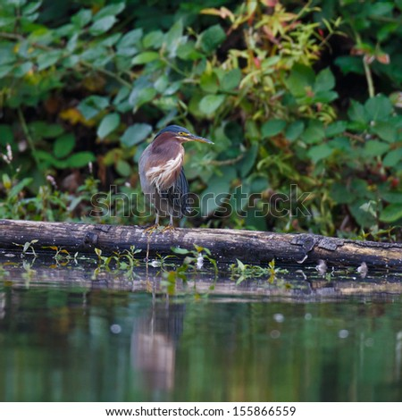 Green Heron looking to the right while standing on a log by the edge of a pond.