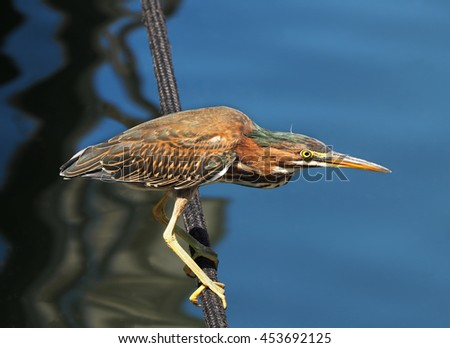 Green Heron Perched on the Boat Anchor Line Waiting for It's Next Meal  - stock photo