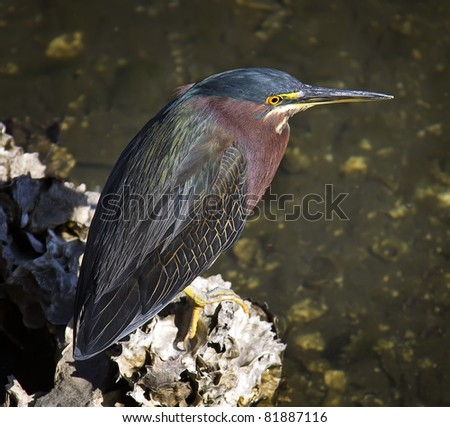 Green Heron sitting on coral - stock photo