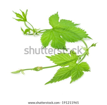 green hop branch isolated on white background
