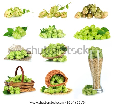 Green hop isolated on white - stock photo