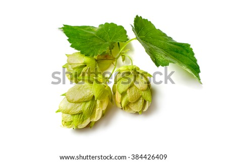 Green hop plant isolated on white background - stock photo