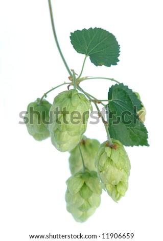 green hops  . - stock photo