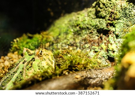 Green horned frog submerged in wet rocks - stock photo