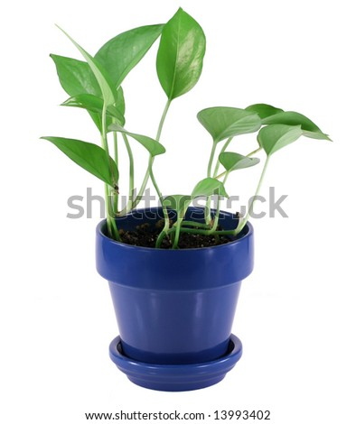 Green house plant in blue pot. - stock photo