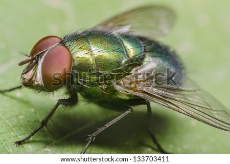 Green Housefly - stock photo
