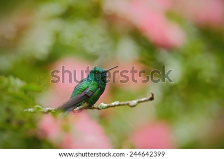 Green hummingbird Blue-chinned Sapphire, Chlorostilbon notatus, sitting on the branch with blurred pink red flower background - stock photo