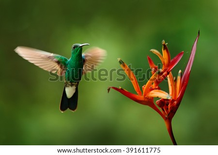 Green hummingbird from Colombia, green bird flying next to beautiful red flower with rain, action feeding scene in green tropical forest, animal in the nature habitat - stock photo