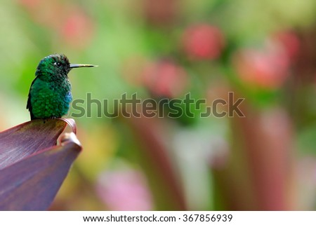 Green hummingbird, Green-crowned Brilliant , Heliodoxa jacula, sitting on the leaves, beautiful pink and red flower  in background, bird in the nature habitat, Panama - stock photo