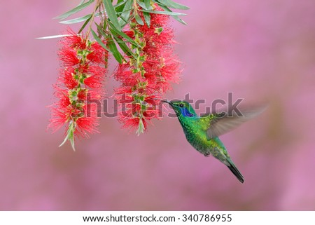Green hummingbird Green Violet-ear, Colibri thalassinus,  flying next to beautiful pink and violet flower, Savegre, Panama - stock photo