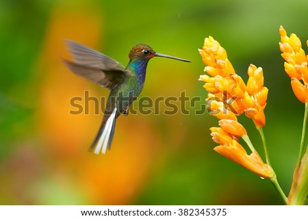 Green hummingbird with sparkling blue throat, White-tailed Hillstar, Urochroa bougueri hovering next to orange flower in rainy day against colorful, blurred, green and orange background. Colombia. - stock photo