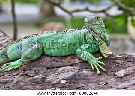 green iguana - stock photo