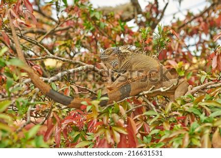 Green iguana basking in a tree in Costa Rica. - stock photo