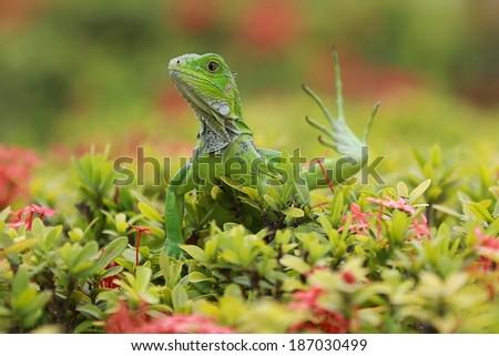 Green iguana (Iguana iguana) posing on a green brush, lifting one of its legs - stock photo