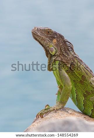Green Iguana (Iguana iguana) sitting on rocks at the Caribbean coast - stock photo