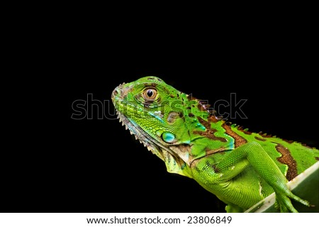 green iguana in black background - stock photo