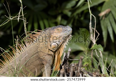 Green iguana in Costa Rica - stock photo