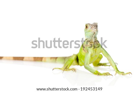 green iguana in front. isolated on white background - stock photo