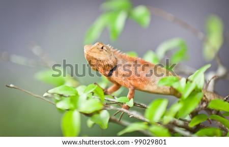 green iguana in the nature - stock photo