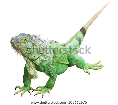 Green Iguana isolated on white with clipping path - stock photo