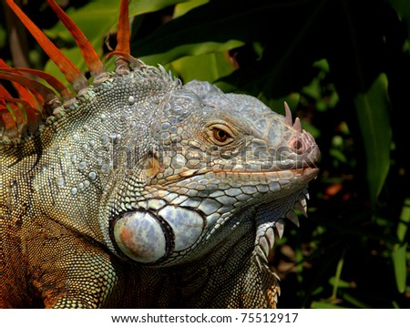 Green Iguana (Latin name: Iguana iguana) showing the bright orange spines and jeweled jowls - stock photo