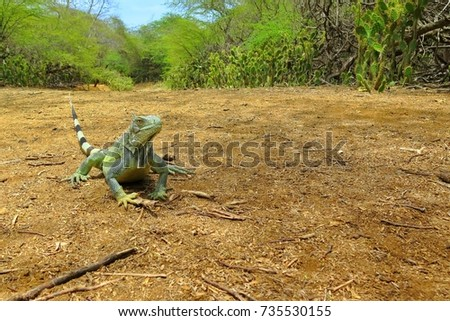 Green iguana lizard on the sandy road. Desert trail through dry tropical forest. Adventure wildlife watching trip on the exotic tropical island.