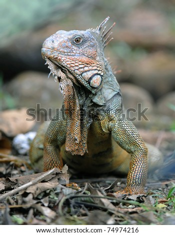 green iguana, male adult close up full frame, guanacaste, costa rica, central america. exotic reptile lizard like dinosaur in tropical setting - stock photo