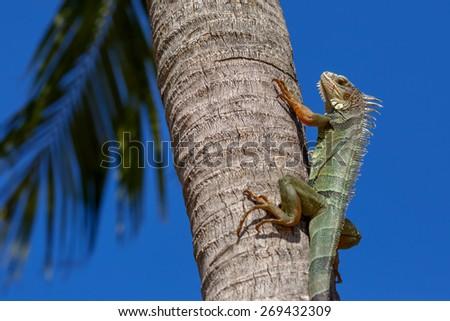 Green Iguana on a palm tree trunk, Key West, Florida, USA - stock photo