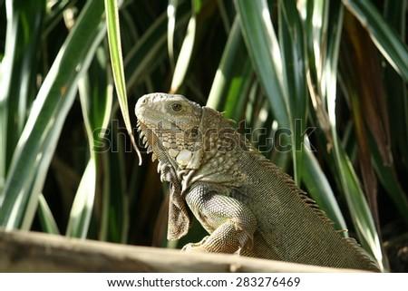 green iguana on old wood - stock photo