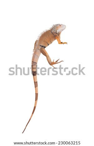 Green Iguana on white - stock photo