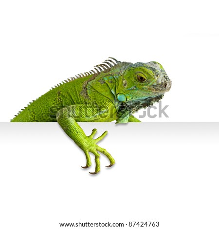 Green iguana peeking in white background - stock photo