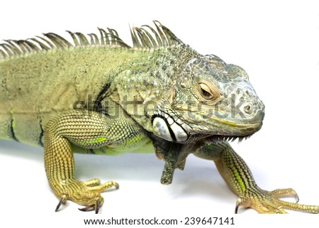 Green Iguana Reptile Portrait Closeup isolated on white background  - stock photo