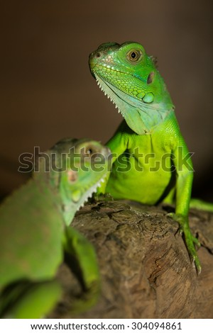 Green iguanas on the timber at the zoo